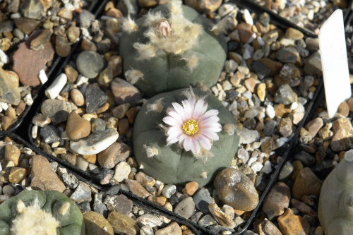 Lophophora diffusa v.echinata #LophophoraDiffusa