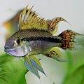 Moja ulubiona RybciA (nie mam jej jeszcze ale wkrótce) #rybka #kakadu #pielęgniczka #akwarium