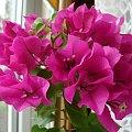 moja bugenwilla #bugenwilla #kwiaty