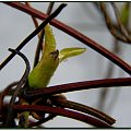 Clemantis też już się przymierza... :) #flora #rośliny #pnącza #natura #przyroda #kwiaty #PoryRoku