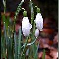 Przebiśniegi nie miały przez co się przebijać :) #flora #rośliny #natura #przyroda #kwiaty #PoryRoku