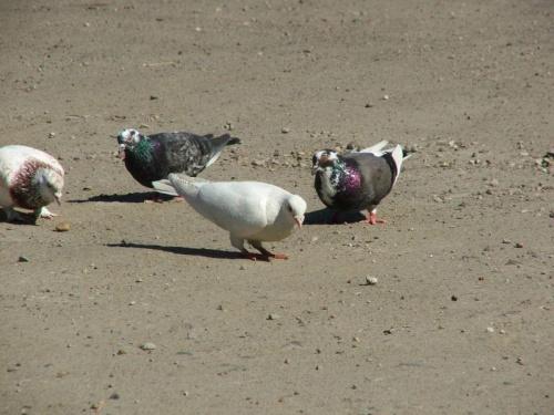 Gołębie koło sklepu w Jeziorszczyźnie #Jeziorszczyzna #gołąb #gołębie #ptak #ptaki
