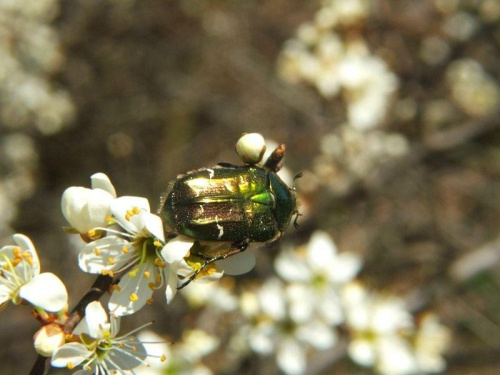 Złoto-zielony chrząszcz #owad #chrząszcz