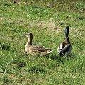 #kaczki #kaczor #kaczka #trawa #mazury #warmia #Olsztyn #para #rodzina