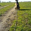 Borys #pies #amstaf