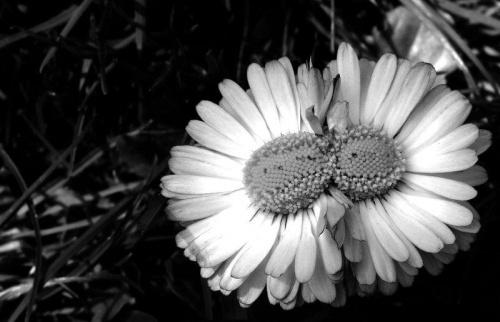 #Zielonka #Przemyśl #Kwiaty #Stokrotka