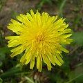 #kwiat #kwiaty #roślinność #roślina #rośliny #mlecz #MniszekLekarski