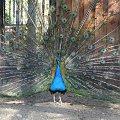 taki sobie paw, szkoda, że między nim a obiektywem była drobna siatka woilery #paw #pawie #ptaki