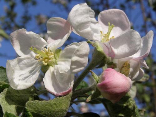 Moja ogrodowa jabłonka #kwiaty