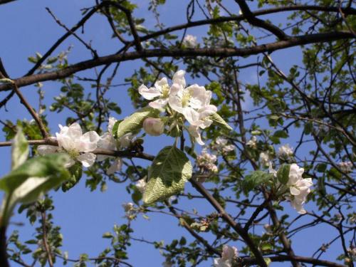 Mała jabłonka wyrosła pod wielkim dębem (widać jego liście z prawej strony). O dziwo - kwitnie i owocuje. Tylko rosnąć przestała :) #drzewa