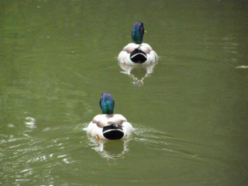 Odwrót kaczek :) #kaczki #śmieszne