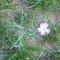 kąkol #kąkol #chwast #kwiaty #polne
