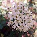 kwitnące bagno zwyczajne #bagno #BagnoZwyczajne #kwiat