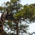 Majorka, Safari Park #Majorka #zwiedzanie #zwierzęta #żyrafa