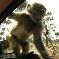 Majorka, pasażer na gapę w Safari Park #Majorka #zwiedzanie #zwierzęta #małpa