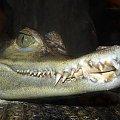 Buzi? #kajman #krokodyl
