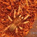 Brachypelma smithi L7 #pajęczaki #brachypelma #smithi #ptasznik