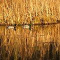 Kaczki w parku #ptak #ptaki #Puławy #kaczka #kaczki
